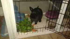 Female 1 year Old Rabbit Bunny and Hutch for Sale