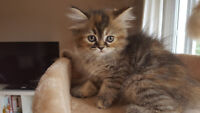 Himalayan and persian kitten for sale