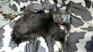 ***LOST GREY CAT IN HAGERSVILLE***