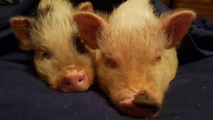Bonded Pair of Julianna Potbelly Pigs