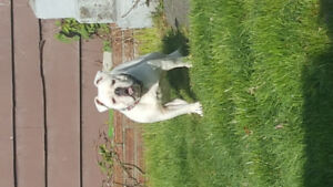 1.5 yr olde English bulldogge for sale
