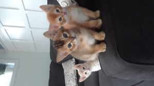 Chatons abyssin pure race