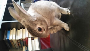 Jeune lapin Rex (2 ans) castré
