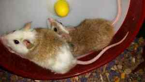 FREE: two male ASF's African soft furred rats