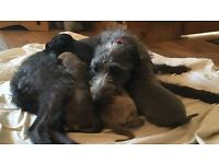 Bedy whippet pups