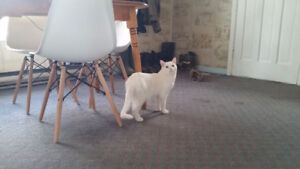 Free 3.5 year old neutered male pure white cat