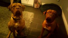 Expecting dogue de bordeaux pups