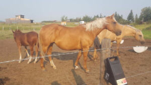 Fantastic Cutting and Reining Bloodlines Mare in foal