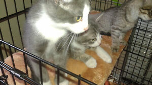 3 Adorable Siamese /Manx X kittens avail @ pets need love 2