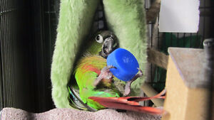 ❤★❤Friendly Baby Conures with Cage❤★❤
