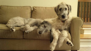 CKC REGISTERED IRISH WOLFHOUNDS