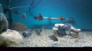 Convict cichlids about 15 left
