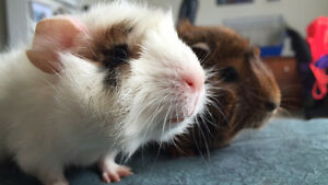 2 Guinea Pigs to a Good Home