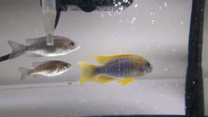 Breeding  group of  Lemon Jake Cichlids