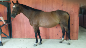CANADIAN WARMBLOOD FOR PART BOARD