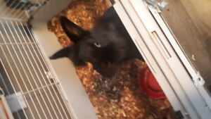 Lion head rabbit for rehoming