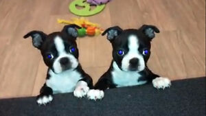 Boston Terrier Puppies!