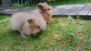 2 small male lion head rabbit for sale with cage