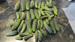 JUST PICKED.. PICKLING CUKES (SOLD) more coming