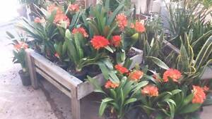 HUGE CLIVIA LILY ON SALE Greenvale Hume Area Preview