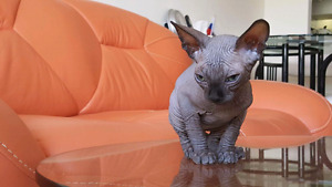 BLUE MALE SPHYNX AVAILABLE