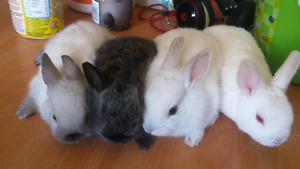 Cross breeds.mini rex - miniature-dwarf rabbit