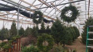 Real Christmas Trees - Free delivery in Winnipeg!