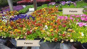 Garden Marigold and Pansy Flowering Plants