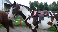 Canadian mix Paint Mare