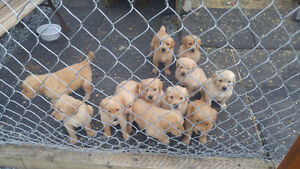 GOLDEN RETRIEVER / GOLD LAB CROSS PUPPIES FOR SALE
