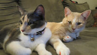 2 SIBLING CATS FREE TO GOOD HOME