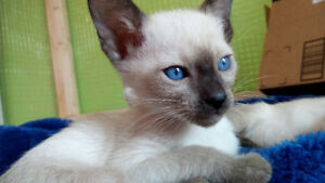 Chatons Siamois Seal   Pure Siamese Kittens