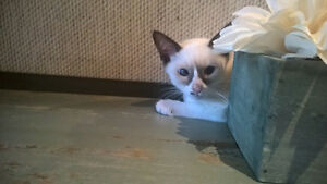 Snowshoe Siamese kitten available