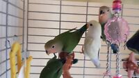 Baby Lovebirds and Adult Linnies for Sale