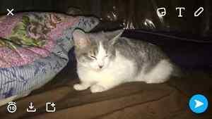 3 month old female kitten  Strathcona County Edmonton Area image 1