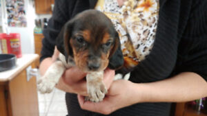 Registered MALE BLUETICK BEAGLE Puppy Waiting to head home