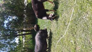 Looking for a home for mini goat .potbelly pig and two ducks