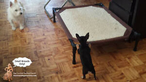 Sitting for small friendly dogs in a home of a certified trainer West Island Greater Montréal image 8