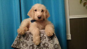 Chiot Male Goldendoodle F2B