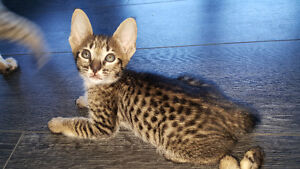 2 F6 Savannah Kittens. Similar to bengal, only better :)