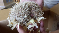 Two Baby Hedgehogs ONLY $119.00 each