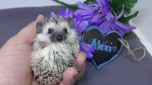 Adorable hedgehog babies, guaranteed by ethical breeder