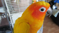 Sun Conure & Green Cheek Conure with cage & accessories.