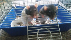 Rehoming 2 female rats