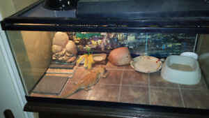 Bearded Dragon complete with tank and setup