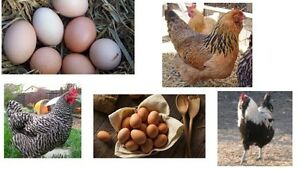 WANTED: 2 to 3 LAYING HENS-brown white or coloured eggs M-XL