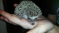 Super Sweet baby Hedgehogs