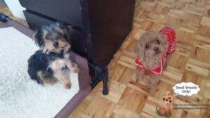 Cage-free playdates/sleepovers for small dogs only West Island Greater Montréal image 1