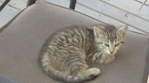 Beautiful Little Tabby Kittens - Free to a Good Home