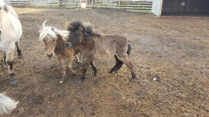TWO MULES FOR SALE!!!